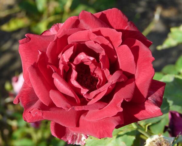 Rosa 'Carmen'