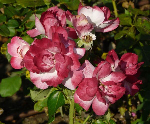 Rosa 'Rea Silvia'