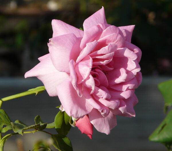 Rosa 'Capistrano'