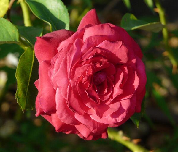 Rosa 'Oklahoma'
