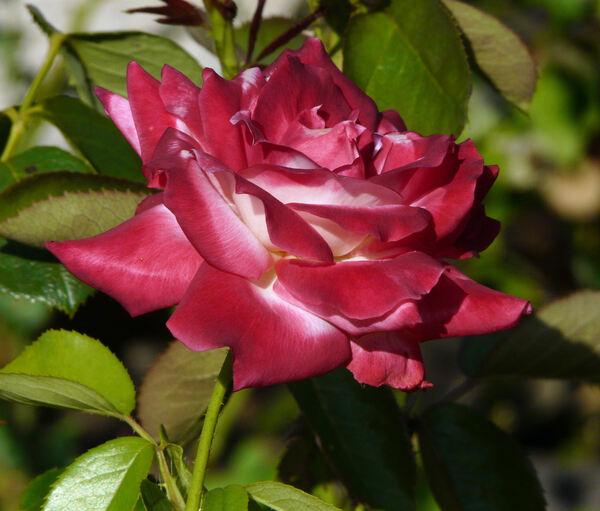 Rosa 'Brasilia'