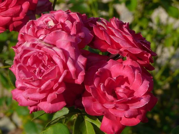 Rosa 'Valentina Borgatti'