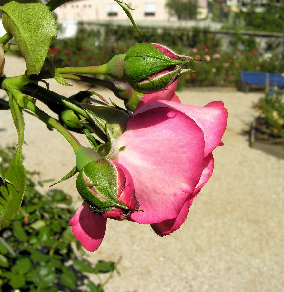 Rosa 'Antike 89 ™'