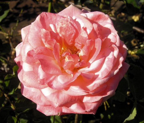 Rosa 'The Coxswain'
