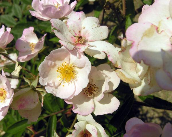 Rosa 'Alden Biesen ®'