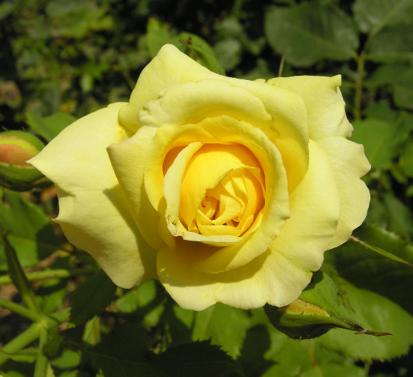 Rosa 'Sterntaler ®'