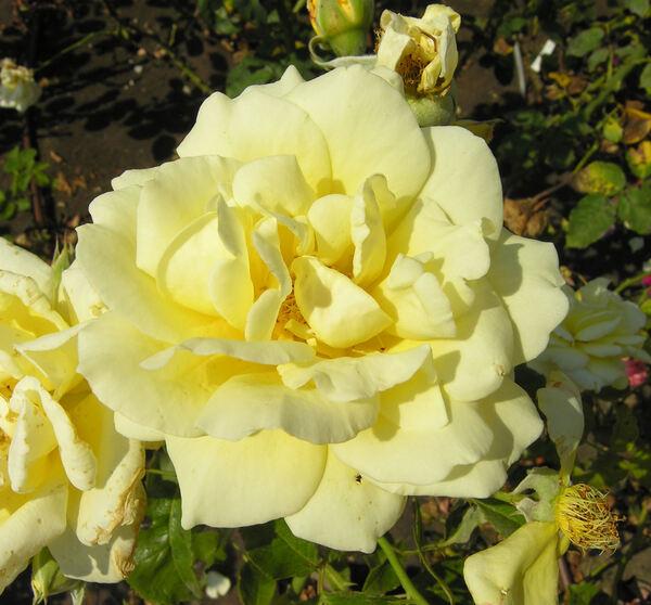 Rosa 'Golden Days'