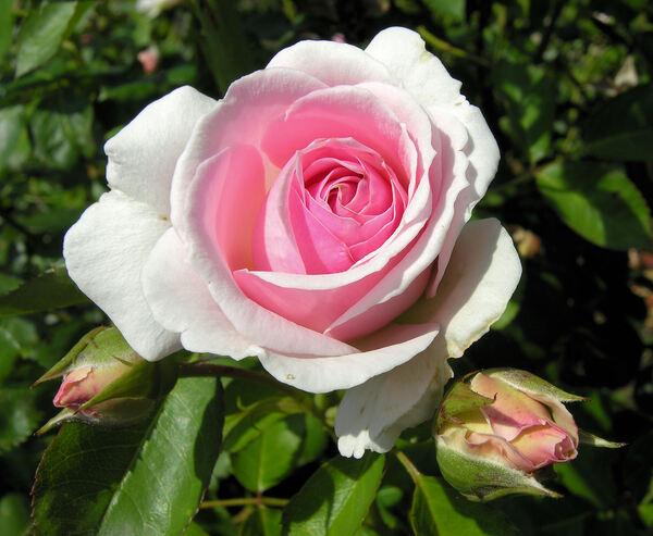 Rosa 'Hermitage'