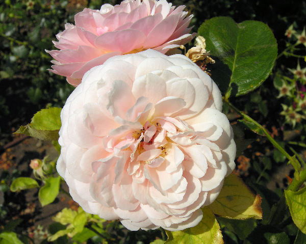 Rosa 'Parfum d'Orléans ®'