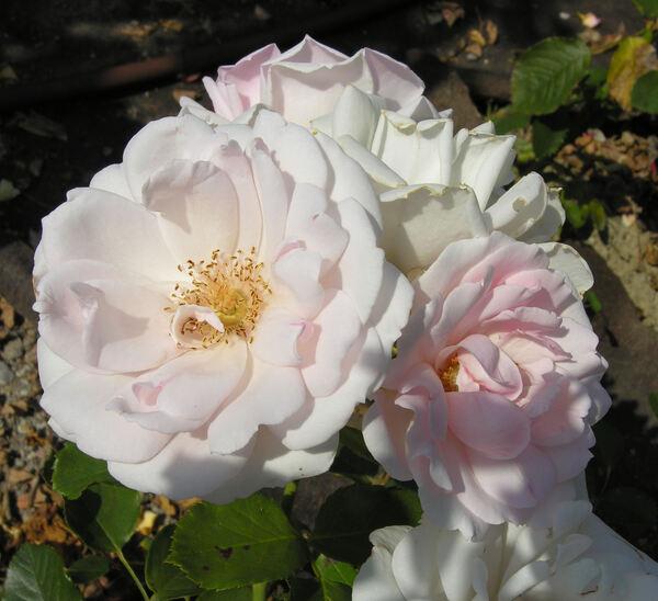 Rosa 'Ballade'