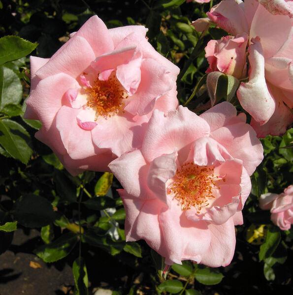 Rosa 'Trier 2000 ®'