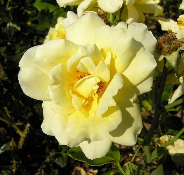 Rosa 'Québec'