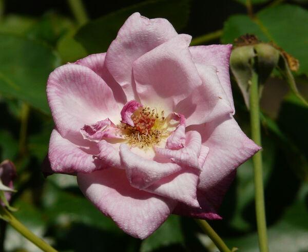 Rosa 'Madame Antoine Mari'