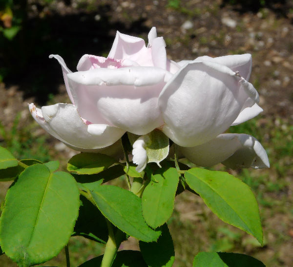 Rosa 'Heinrich Münch'
