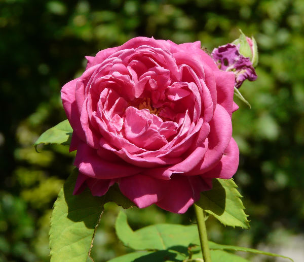 Rosa 'Madame Charles Détraux'