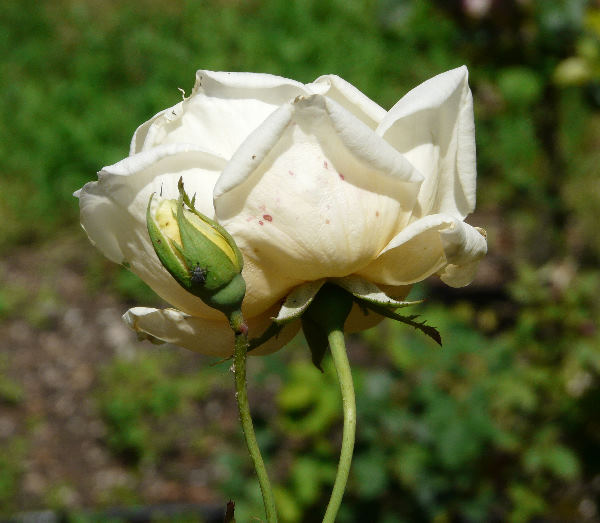 Rosa 'Madame Tony Baboud'