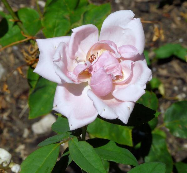 Rosa 'Mrs. Arthur Robert Waddell'