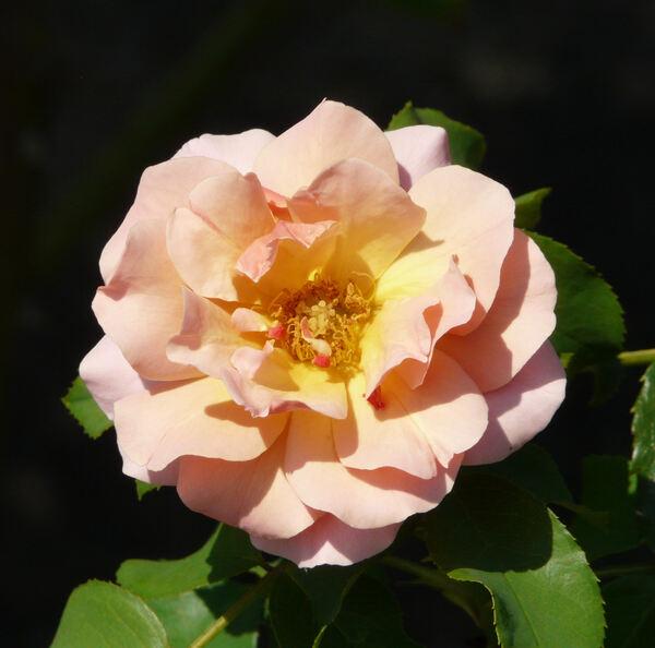 Rosa 'Charleston'