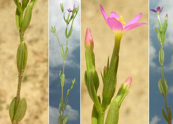 Centaurium tenuiflorum (Hoffmanns. & Link) Fritsch subsp. acutiflorum (Schott) Zeltner