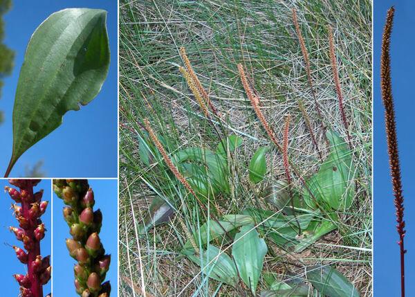 Plantago cornutii Gouan