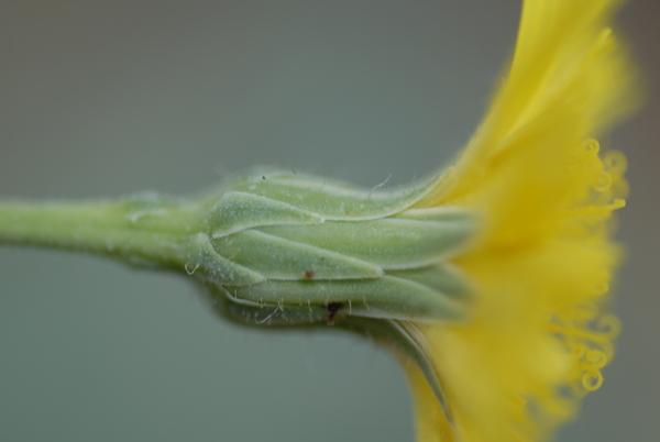 Hieracium portanum Belli