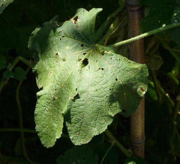 Alcea sulphurea (Boiss. & Hohen.) Alef.