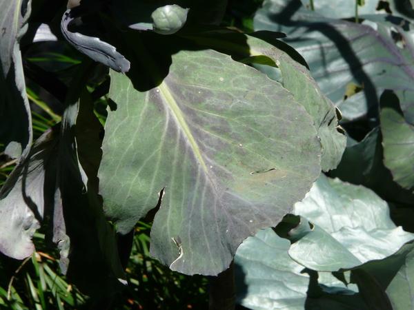 Brassica oleracea L. conv. capitata L. var. rubra