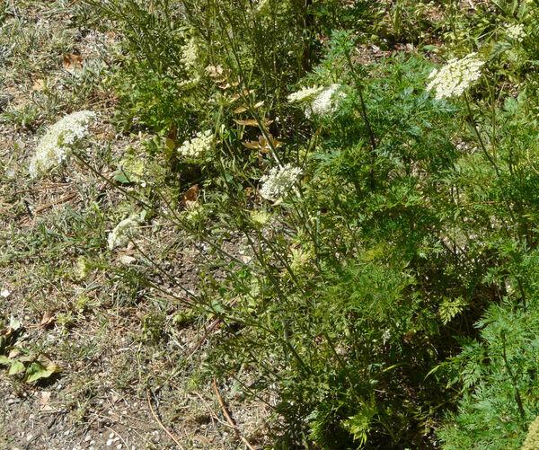 Aethusa cynapium L. subsp. cynapium