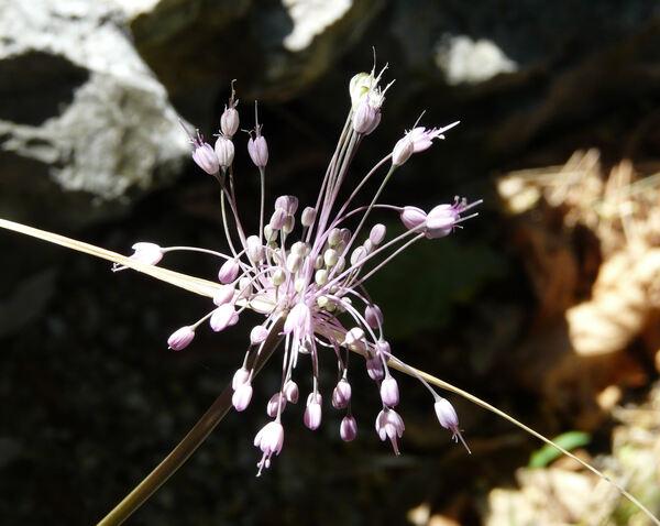 Allium coloratum Spreng.