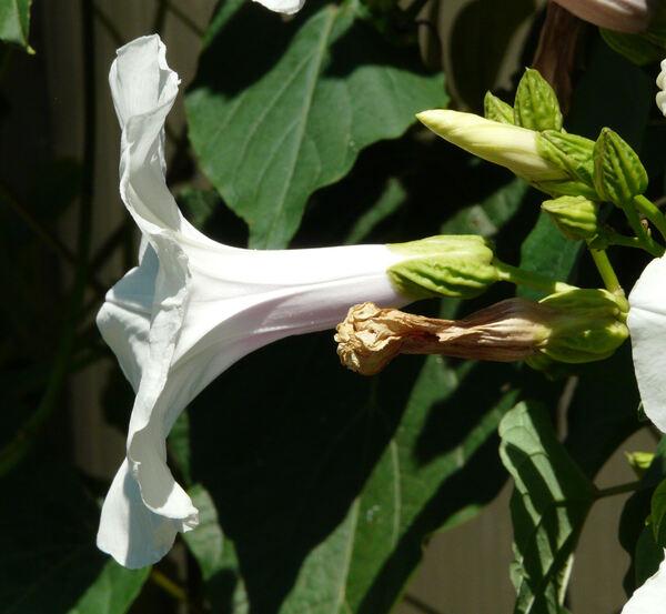 Ipomoea pandurata (L.) G.Mey.