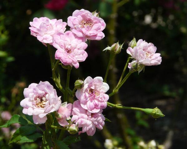 Rosa 'Gloire des polyanthas'