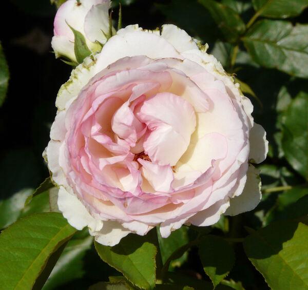 Rosa 'Honoré de Balzac'