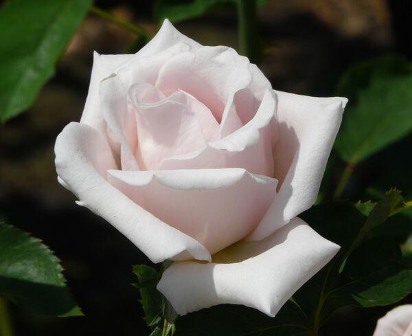 Rosa 'Donna Marella Agnelli'
