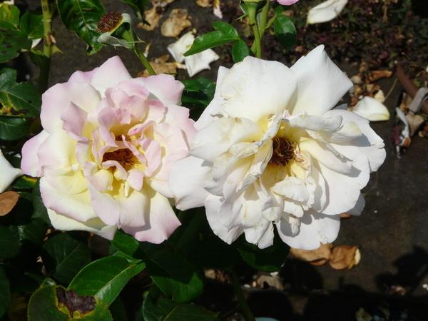 Rosa 'Gioia'