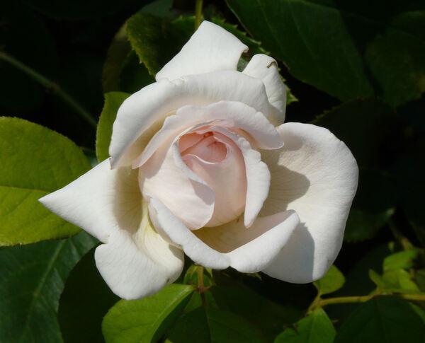 Rosa 'André le Nôtre ®'