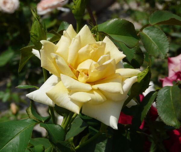Rosa 'Cheshire'