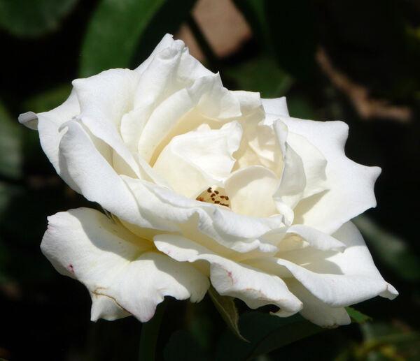Rosa 'Racy Lady'