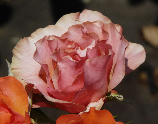 Rosa 'Tintinara ™'