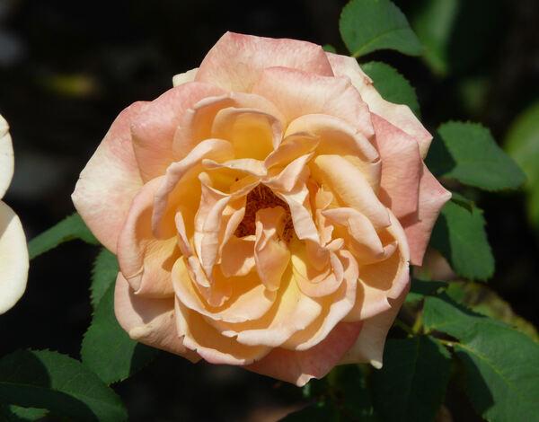 Rosa 'Golden Oldie'