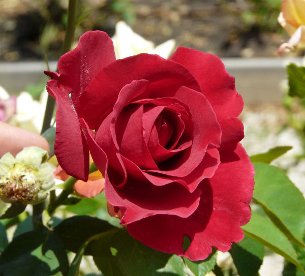 Rosa 'Roter Duft 97 ®'