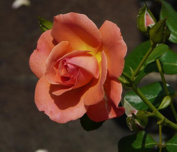 Rosa 'Dolce Luna ®'