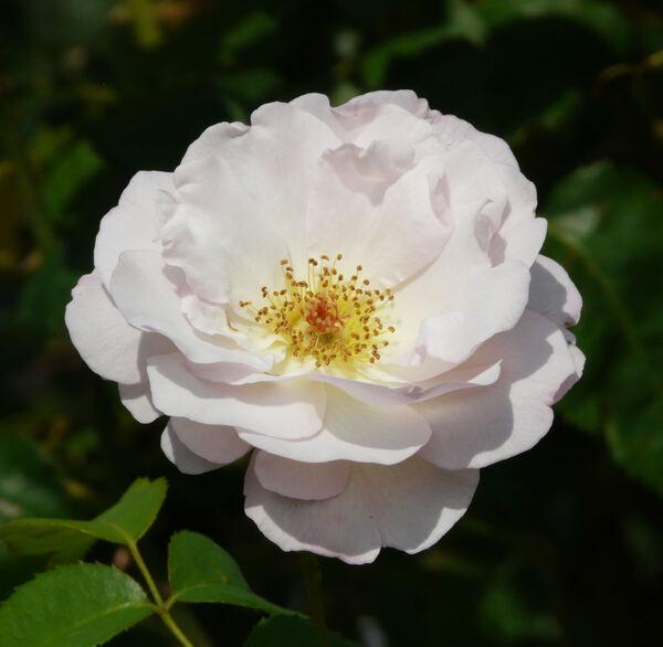 Rosa 'Marie-Luise Marjan ®'