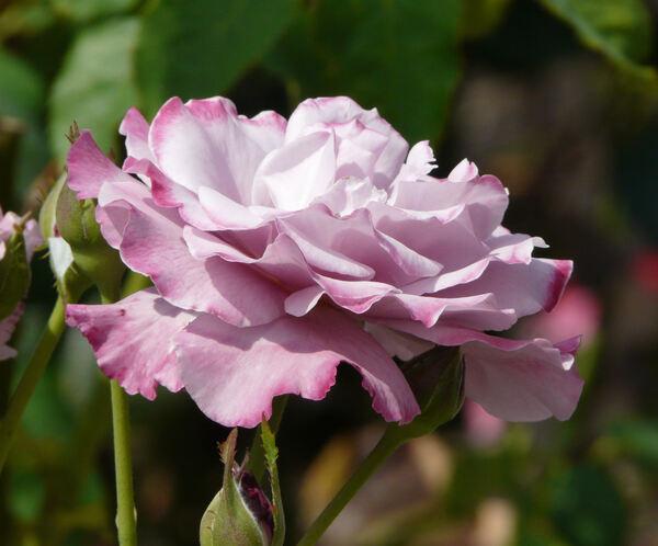 Rosa 'Ametista ®'
