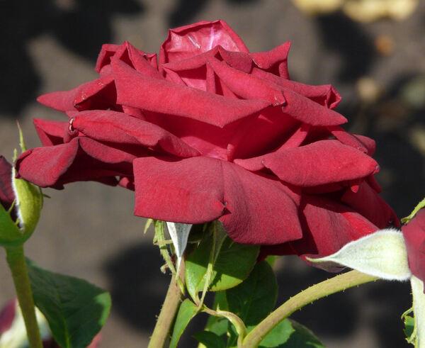 Rosa 'Schwarze Madonna ™'