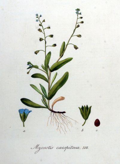 Myosotis laxa Lehm. subsp. cespitosa (Schultz) Hyl. ex Nordh.