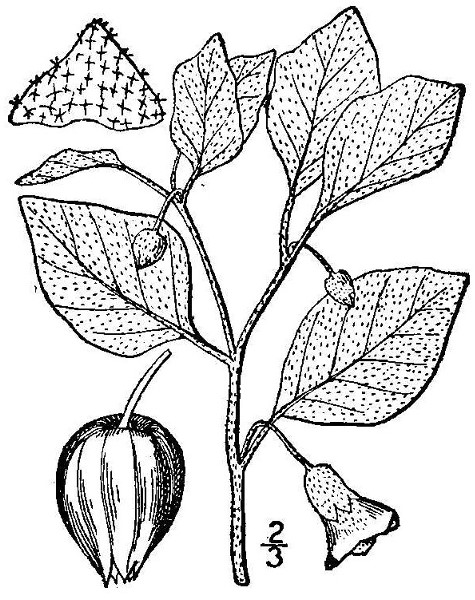 Physalis viscosa L.