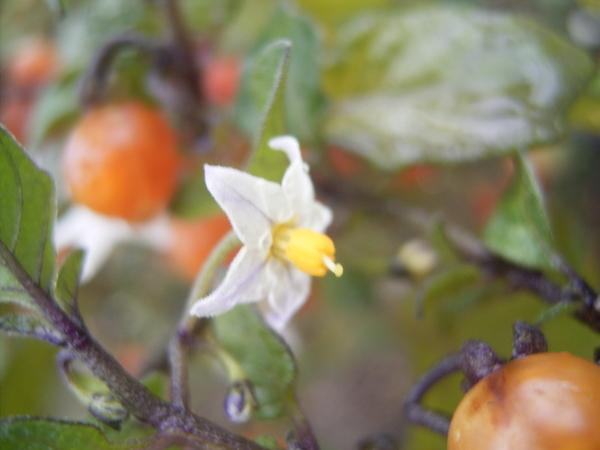 Solanum triflorum Nutt.
