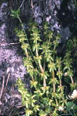 Valantia deltoidea Brullo