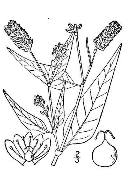 Persicaria pensylvanica (L.) M.Gómez