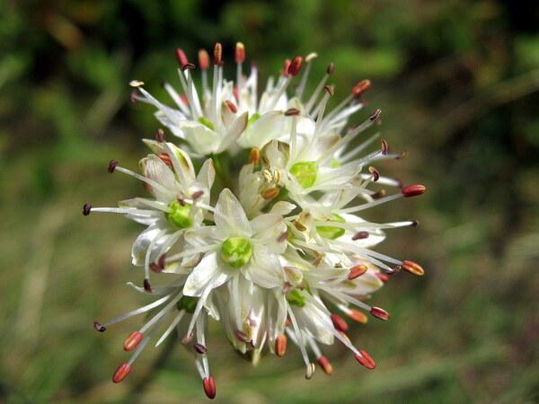 Allium ericetorum Thore